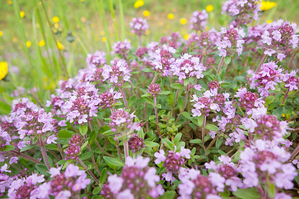 1,258 Creeping Thyme Stock Photos, Pictures & Royalty-Free Images - iStock