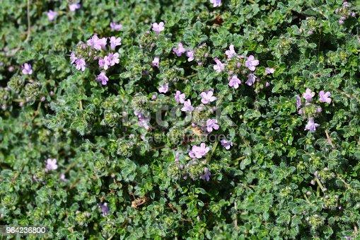 Pink wild thyme flowers - Latin name - Thymus polytrichus