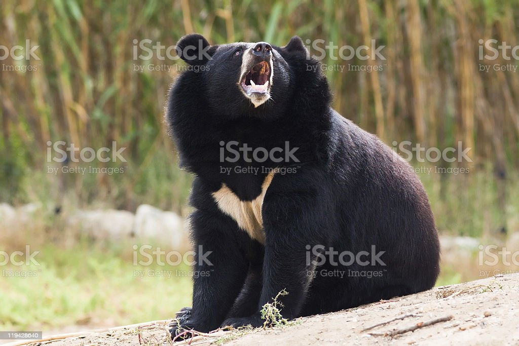 wild Tibetan bear howling stock photo