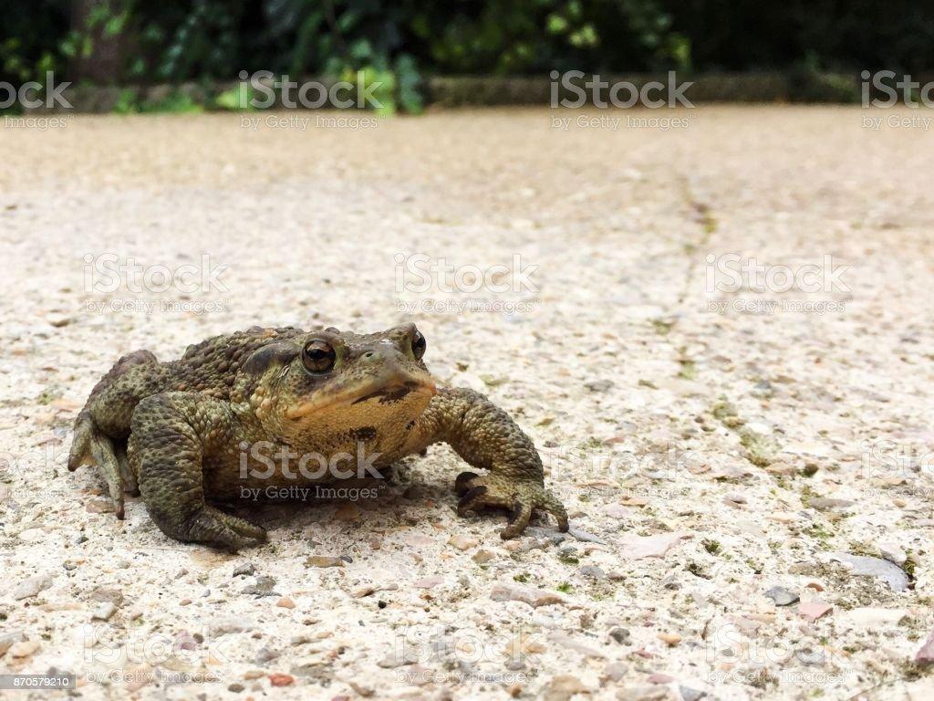 Wild toad, small amphibian animal portrait stock photo