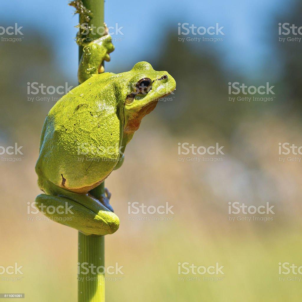 Wild Treefrog stock photo