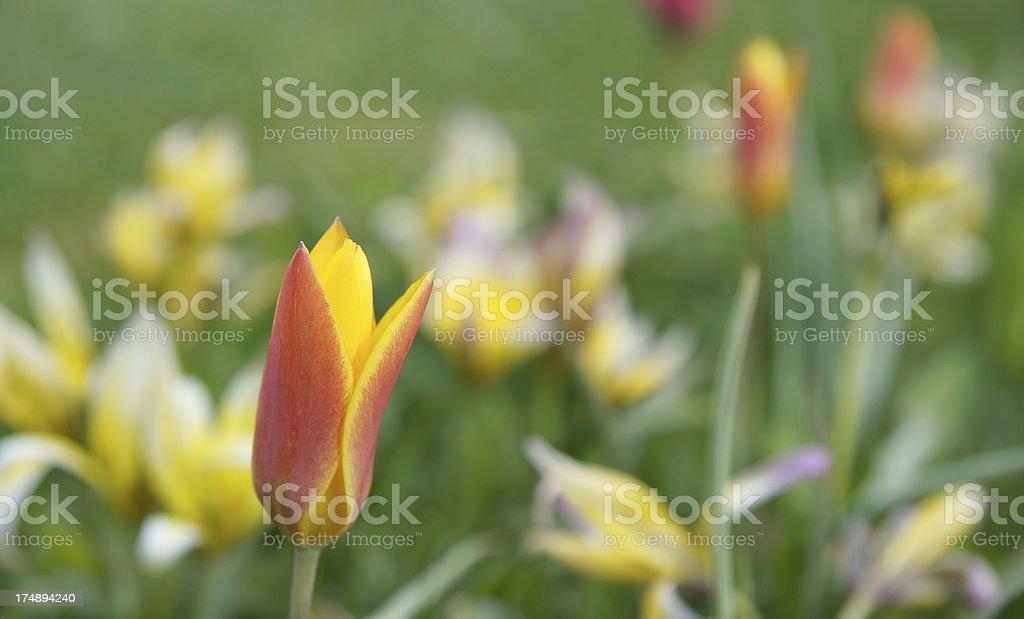 Wild tulips royalty-free stock photo