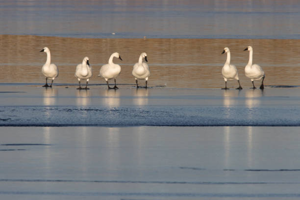 Standing on ice edge at Harriman Reservoir in Littleton, coots and mallards swim by a flock of tundra swans preening and relaxing during their migration across Colorado.