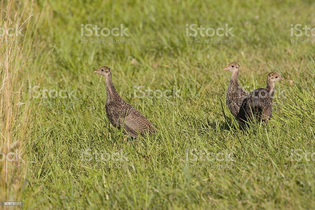 Wild Turkey Babies stock photo