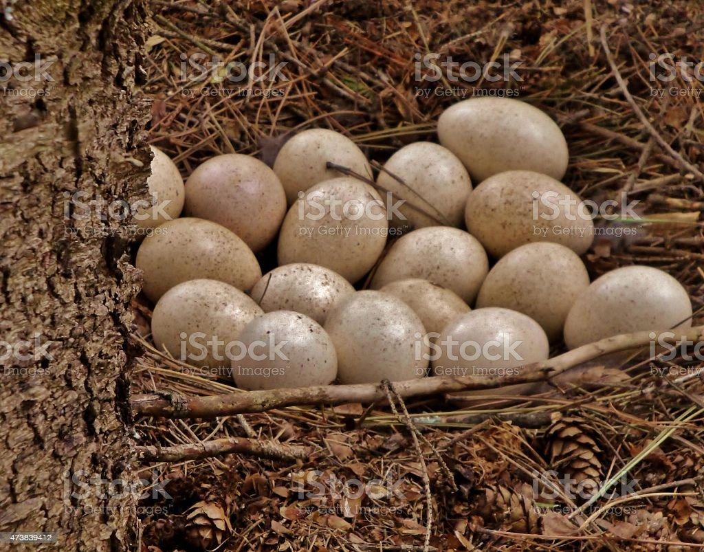 Fotografía de Pavo Salvaje Huevos En El Bosque y más banco de ...