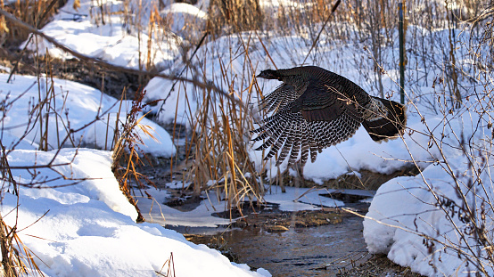 Wild Turkey Flying Over Stream