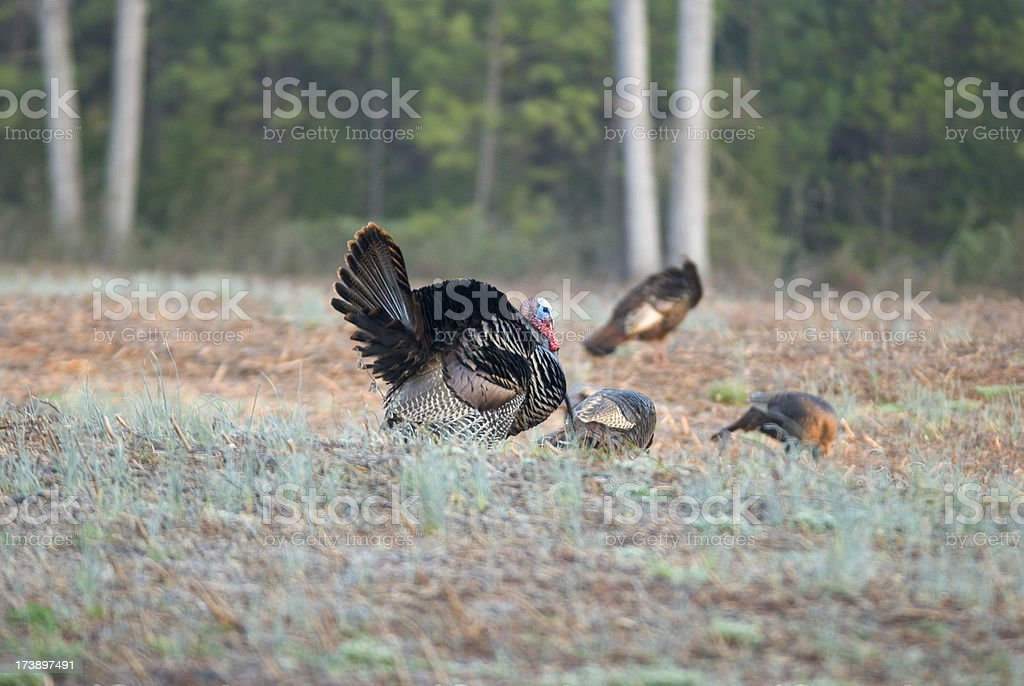 Wild Turkey In Field With Hens, Happy Thanksgiving! royalty-free stock photo
