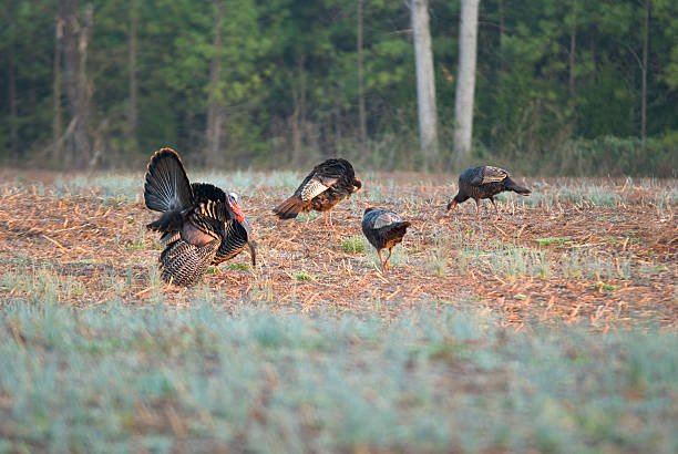 Wild Turkey In Field With Hens, Happy Thanksgiving! stock photo