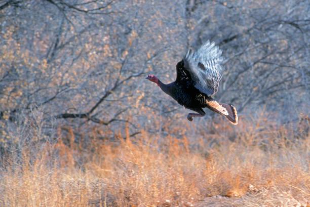 Wild Turkey in Flight stock photo
