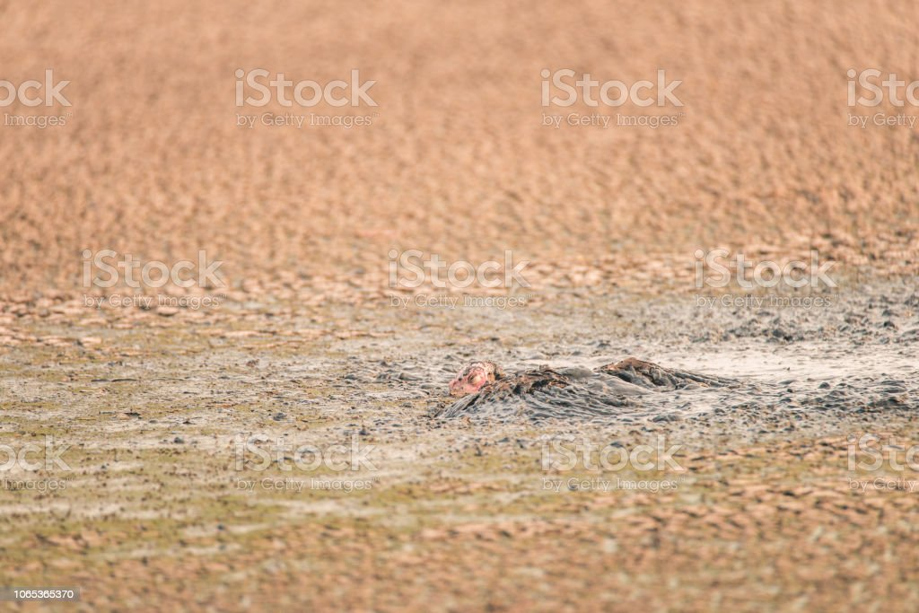 Wild turkey stuck, struggling, and drowning in a thick sludge of human waste at a water treatment facility stock photo