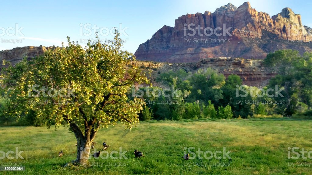 Wild turkeys feeding on apples below fruit tree and bugs in pastures in Rockville Utah stock photo