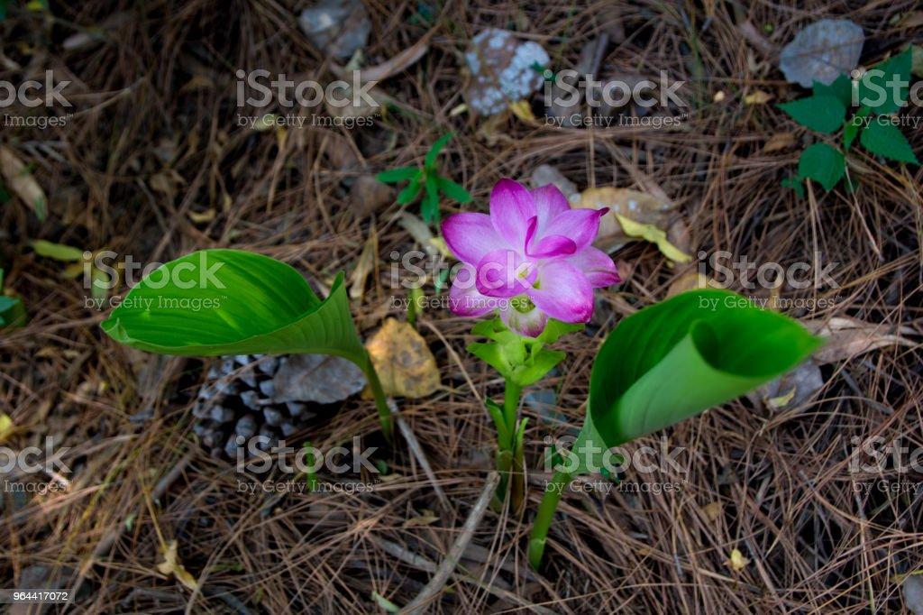 Turmeric selvagem rosa flor - Foto de stock de Açafrão-da-índia royalty-free