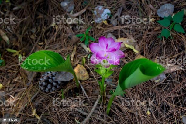 Foto de Turmeric Selvagem Rosa Flor e mais fotos de stock de Açafrão-da-índia