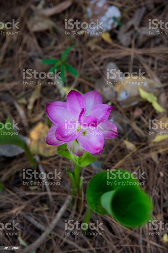 Wild Turmeric Pink Flower - Royalty-free Asia Stock Photo