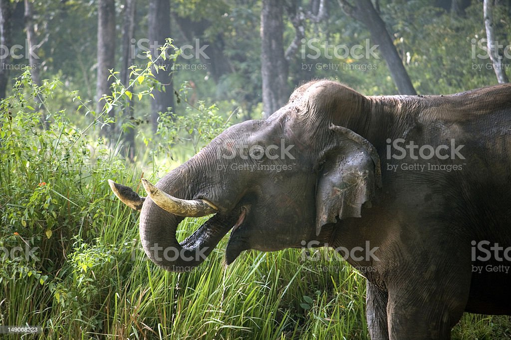wild tusker drinking water in hot summer stock photo