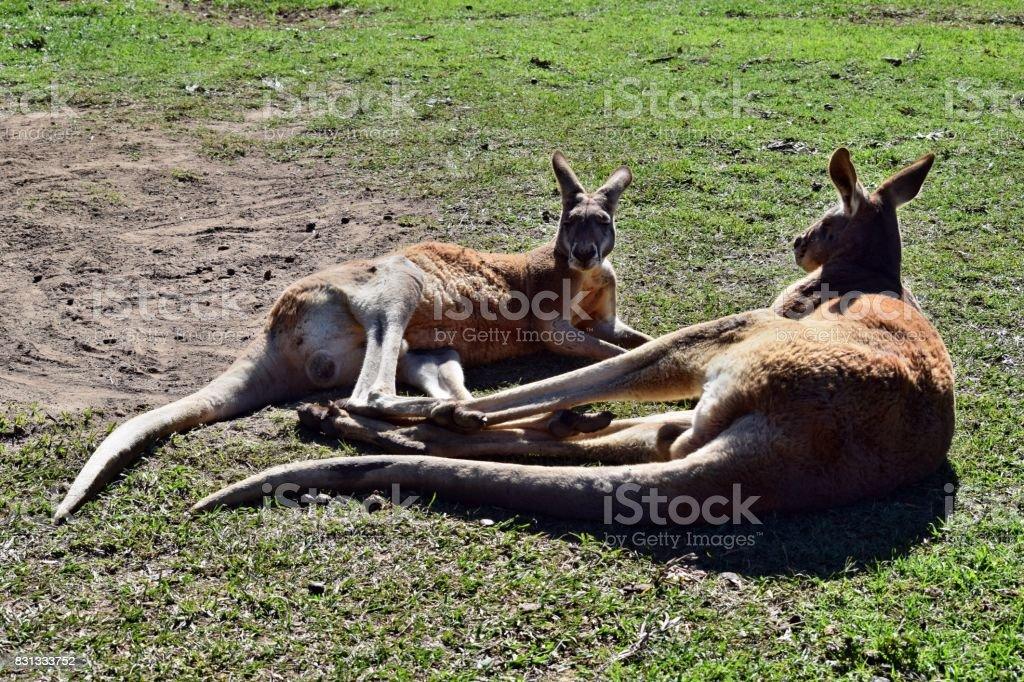 Wild two australian red kangaroos lying on the grass stock photo