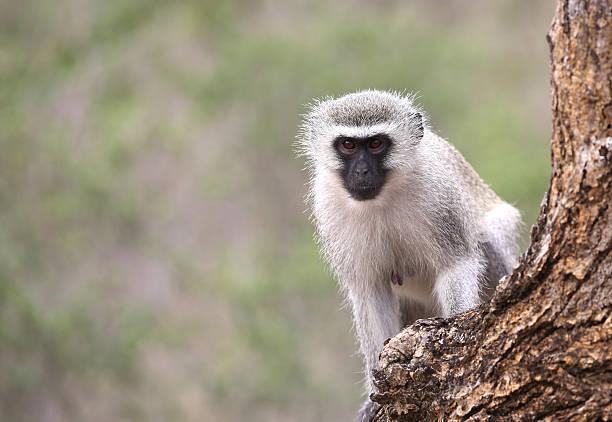 wild samt affe im krüger nationalpark, südafrika. - leitner stock-fotos und bilder