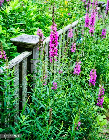 Stalks of pink veronica flowers grow in profusion along both sides of a weathered fence on Cape Cod, Massachusetts