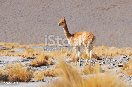 Wild Vicuna (Vicugna vicugna) at the Laguna Colorada, Altiplano, Bolivia, South America.
