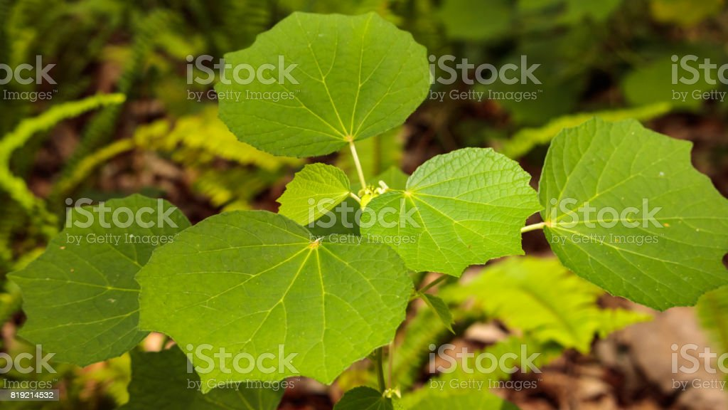 Wild vine climbing leaves stock photo