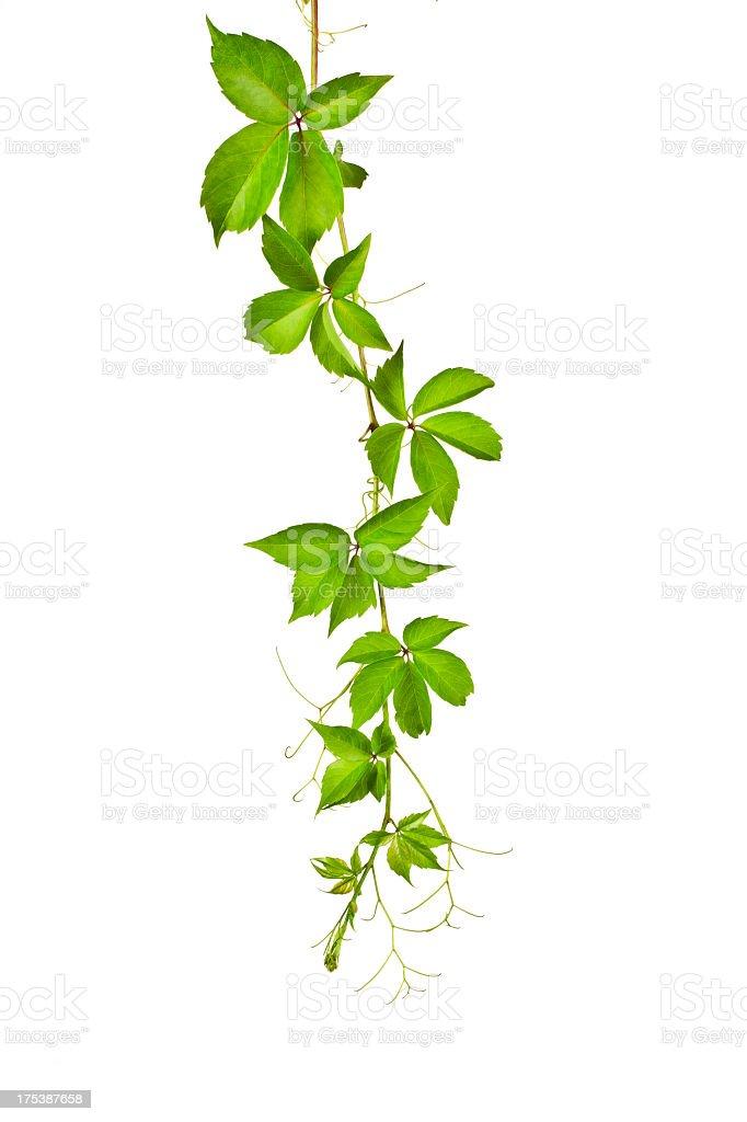 Wild Vine (Parthenocissus Tricuspidata). stock photo