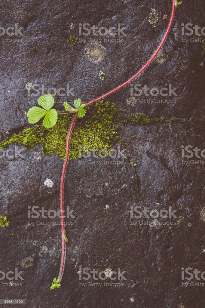 Wild vine plant on rock