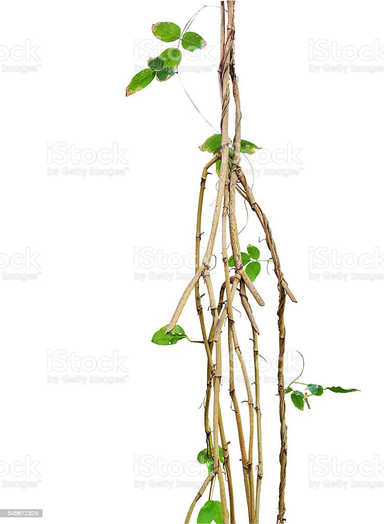 Wild vines, jungle vines with small green leaf vines twisted stock photo