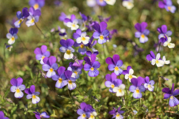 Wild Viola Tricolor in spring, Wildflower, Havelland district, Germany stock photo