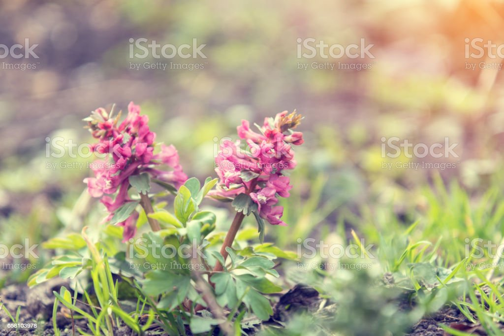 Wild violet blooming corydalis royalty-free stock photo