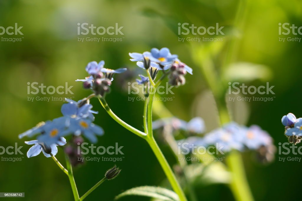wild violet close-up - Royalty-free Beauty In Nature Stock Photo