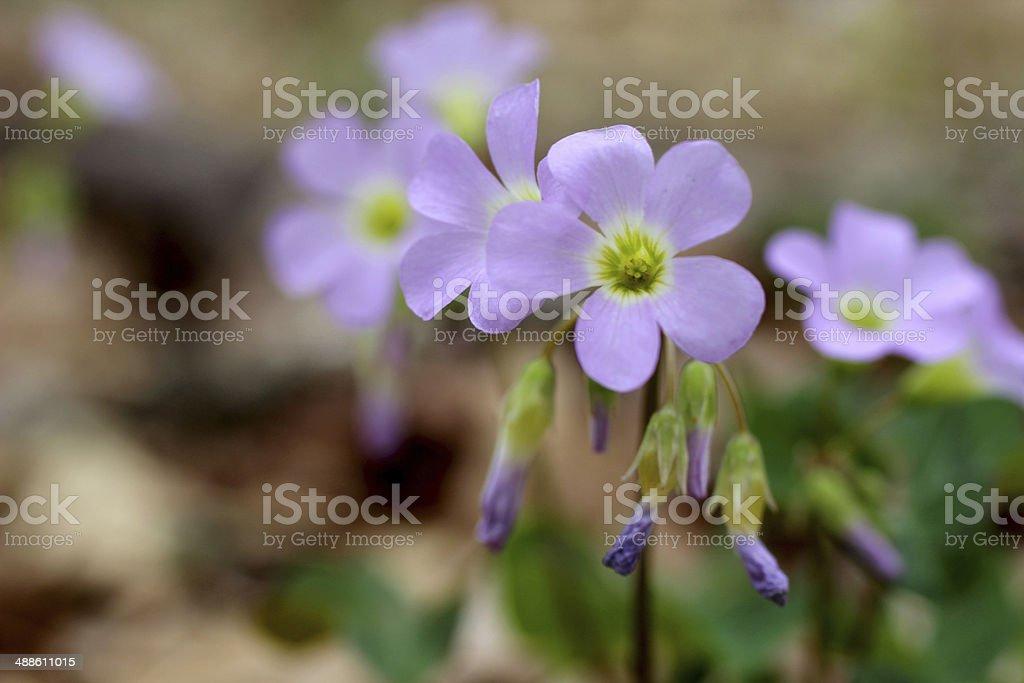 Wild Violet Wood Sorrel stock photo