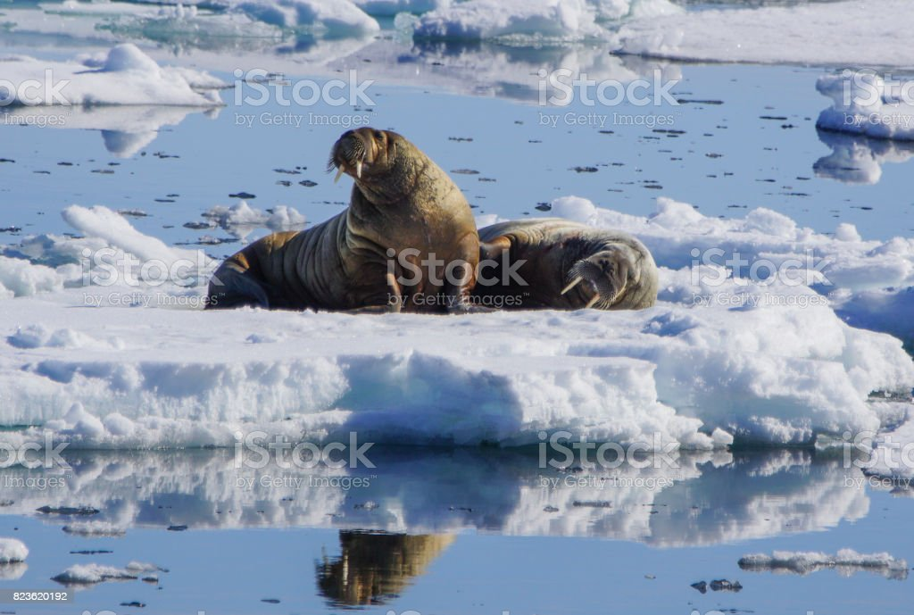 Wild Walrus in the Svalbard Region of the Arctic stock photo