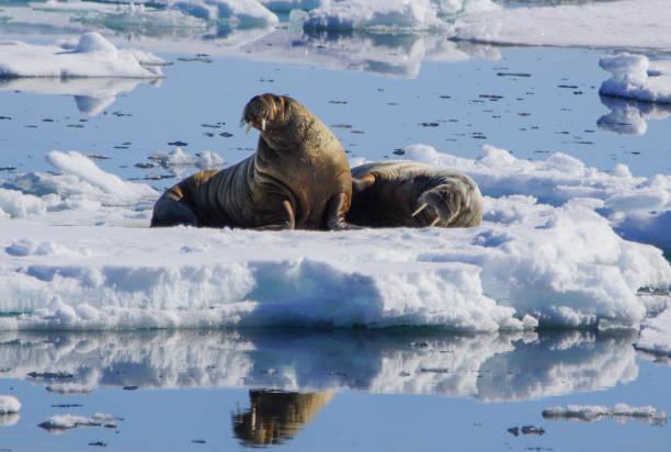 Morse sauvages dans la région de l'Arctique de Svalbard - Photo