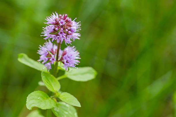 Wild water mint with purple flower foto