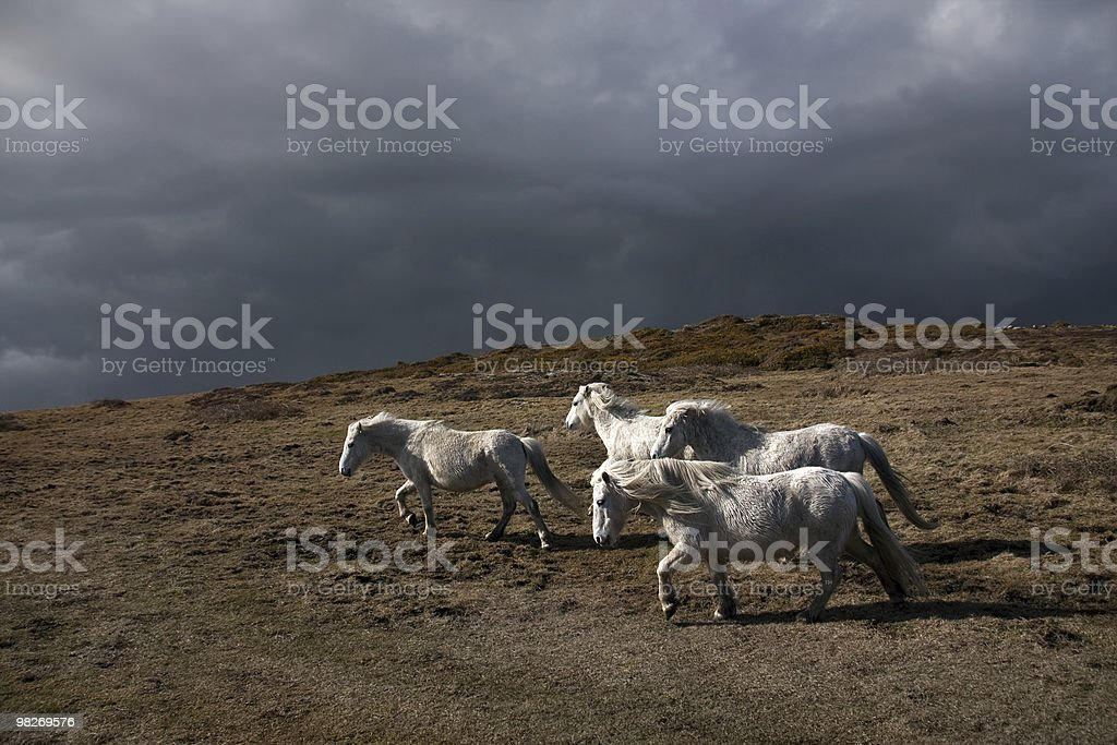 Wild welsh ponies royalty-free stock photo