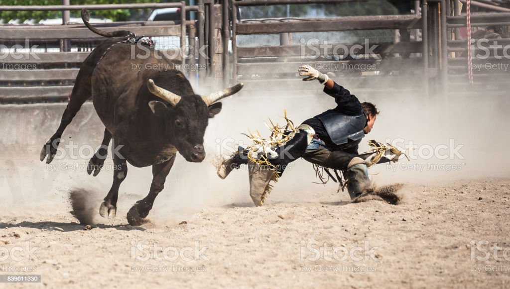 wild west rodeo cowboy riding a bucking black bull stock photo