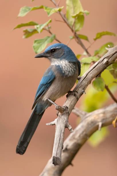 Wild western scrub jay bird perched Red Rocks Park Morrison Colorado stock photo