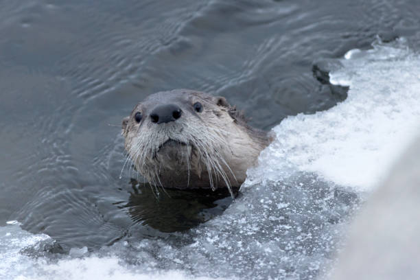 Swimming and diving, a wild river otter peeks out from the snow covered ice in the Lamar River in Yellowstone National Park in Wyoming