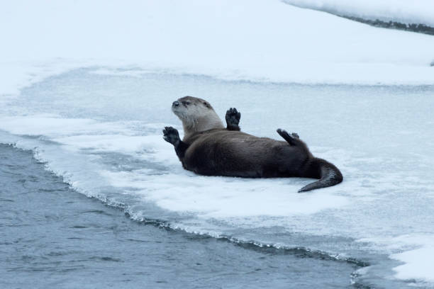 With his front paws in the air, a wild river otter rolls on the snow covered ice in the Lamar River in Yellowstone National Park in Wyoming.