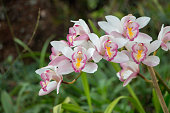 Closeup shot of white and pink lady slipper from a tropical forest. North of Thailand