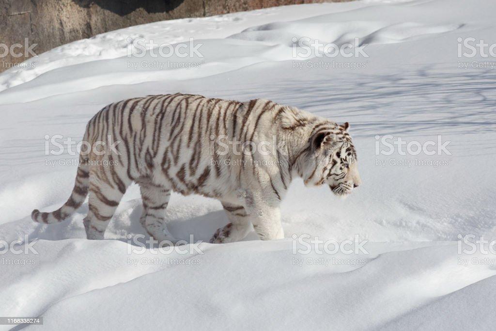 Wild white bengal tiger on a morning walk. Panthera tigris tigris....