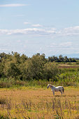 Camargue horse (Camarguais) roam free the extensive marshlands, Equestrian tourism destination in Europe, France