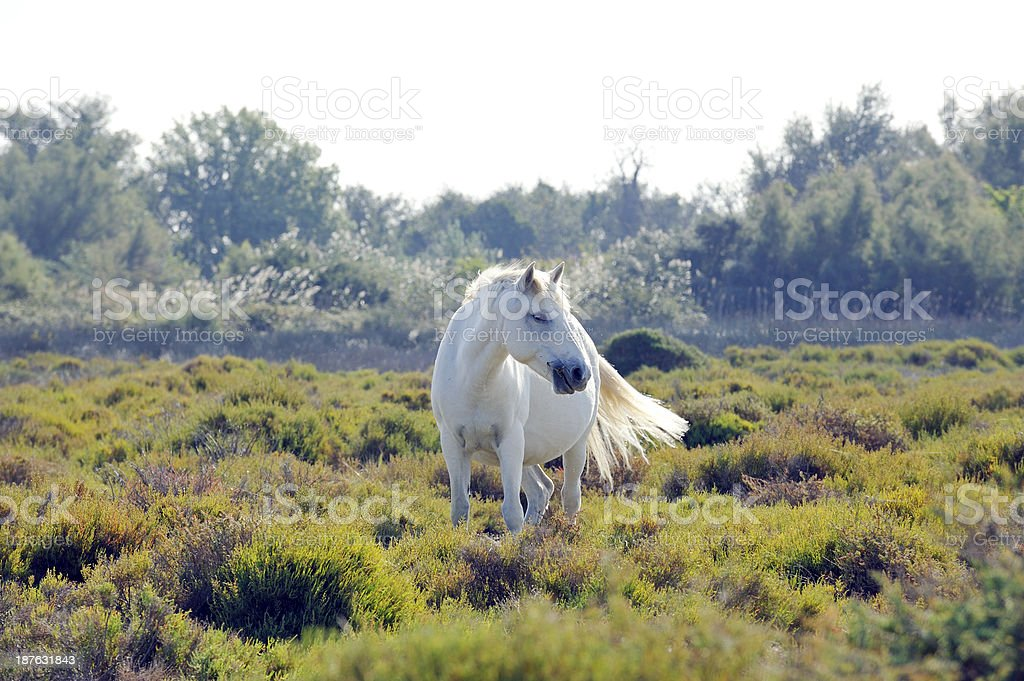 Wild white Camargue horse stock photo