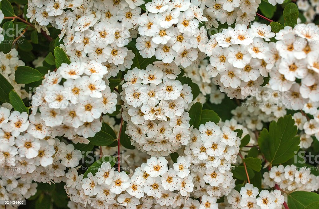 Wild White Flower Bushes Stock Photo More Pictures Of Abstract