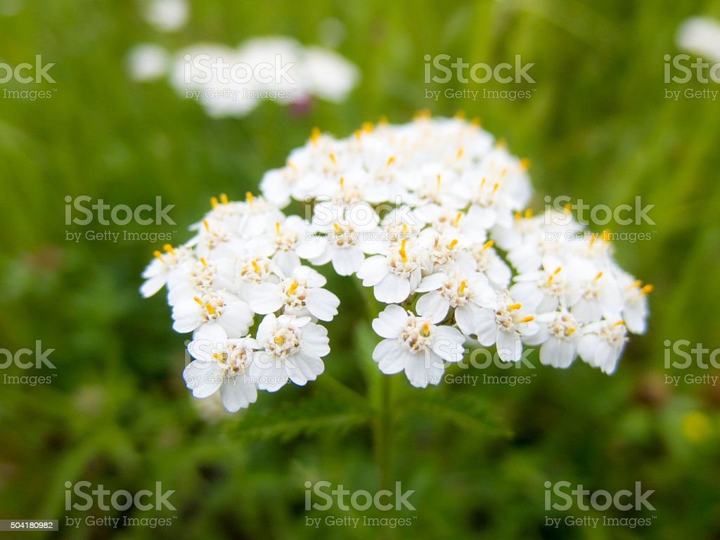 Wild White Flowers Growing In A Green Field Stock Photo More