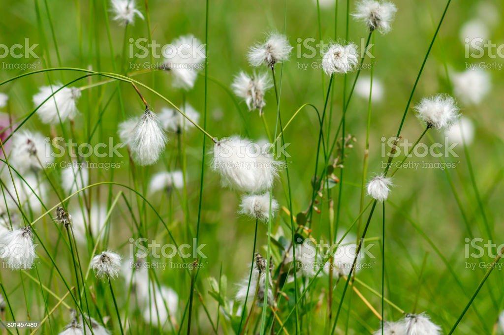 wild white flowers on the meadow. Erióphorum/ cotton grass stock photo
