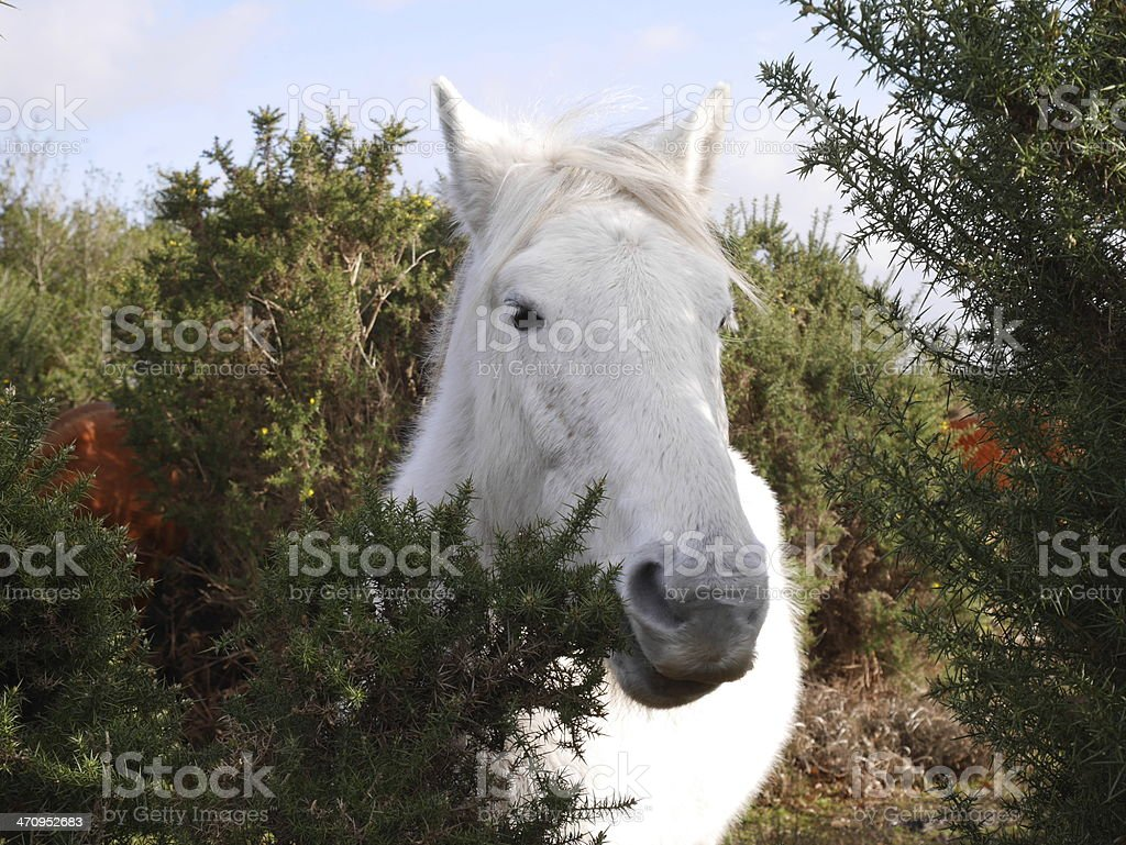 wild white horse eating gorse winter stock photo