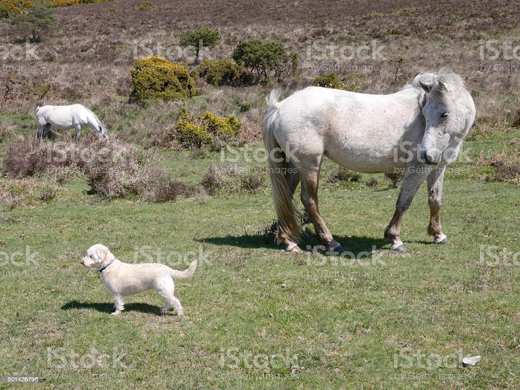 wild white horse looking at westiepoo new forest stock photo