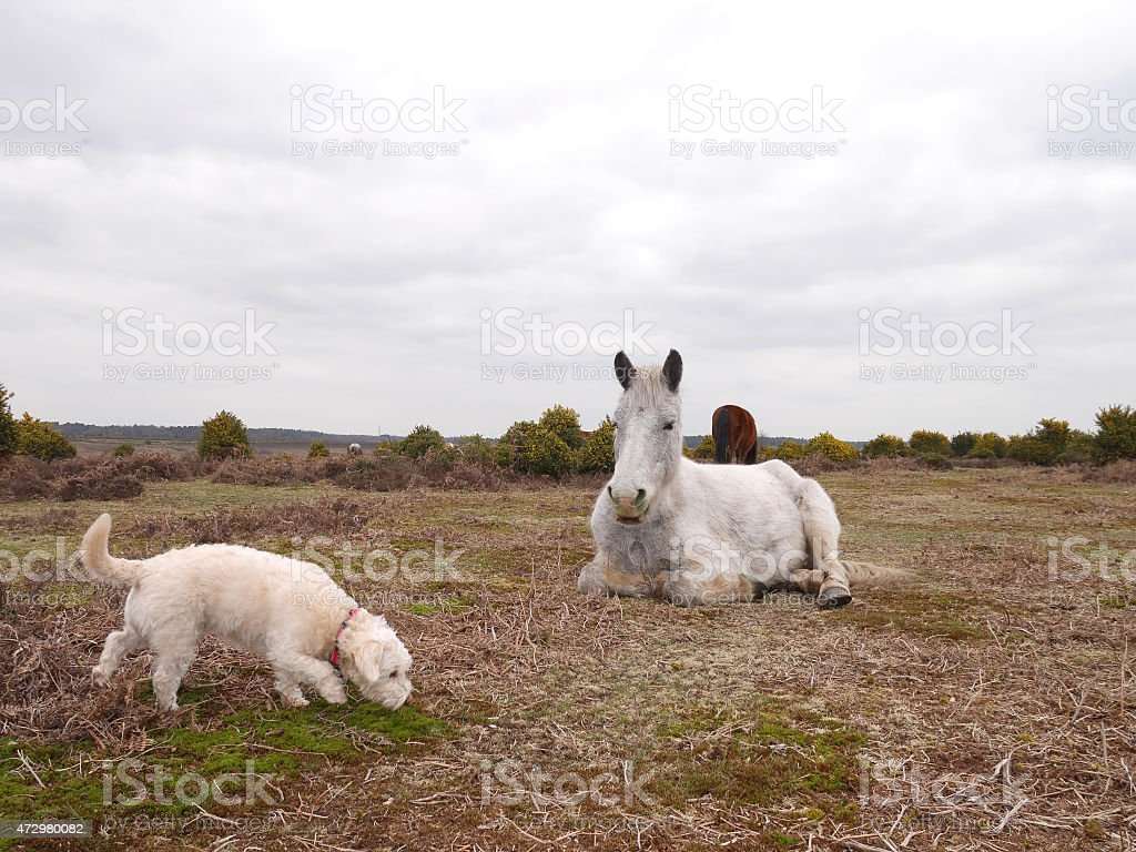 wild white horse looking at westiepoo walking new forest stock photo
