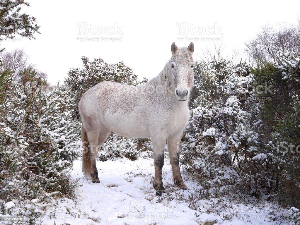wild white horse standing new forest winter morning twilight stock photo